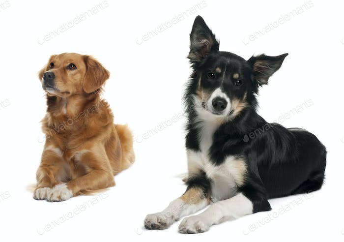 Border collie and a Nova scotia duck-tolling retriever, lying in front of white background