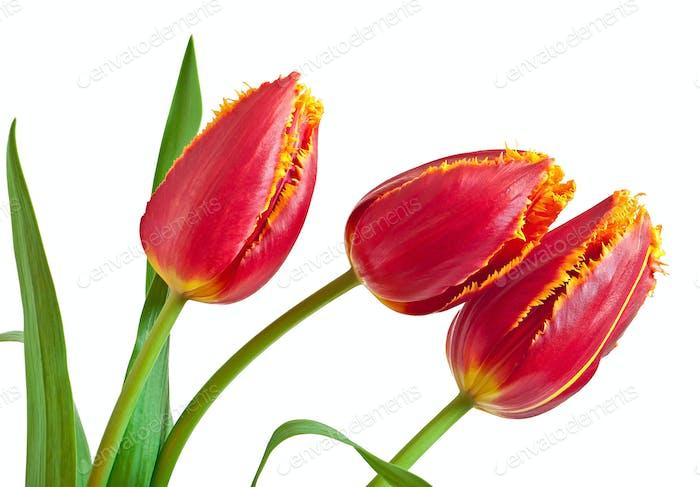 Frühlingsstrauß von roten Tulpen auf weißem Hintergrund isoliert