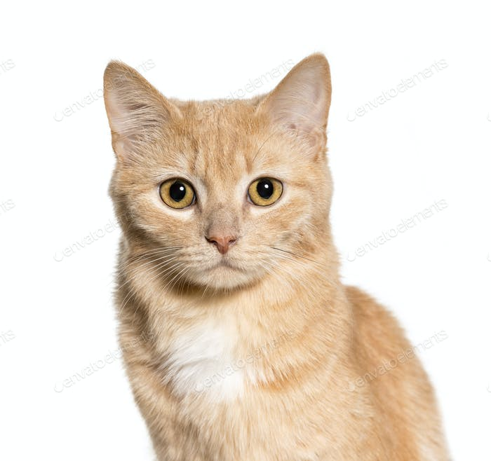 Thumbnail for Close-up of Mixed-breed cat, cut out