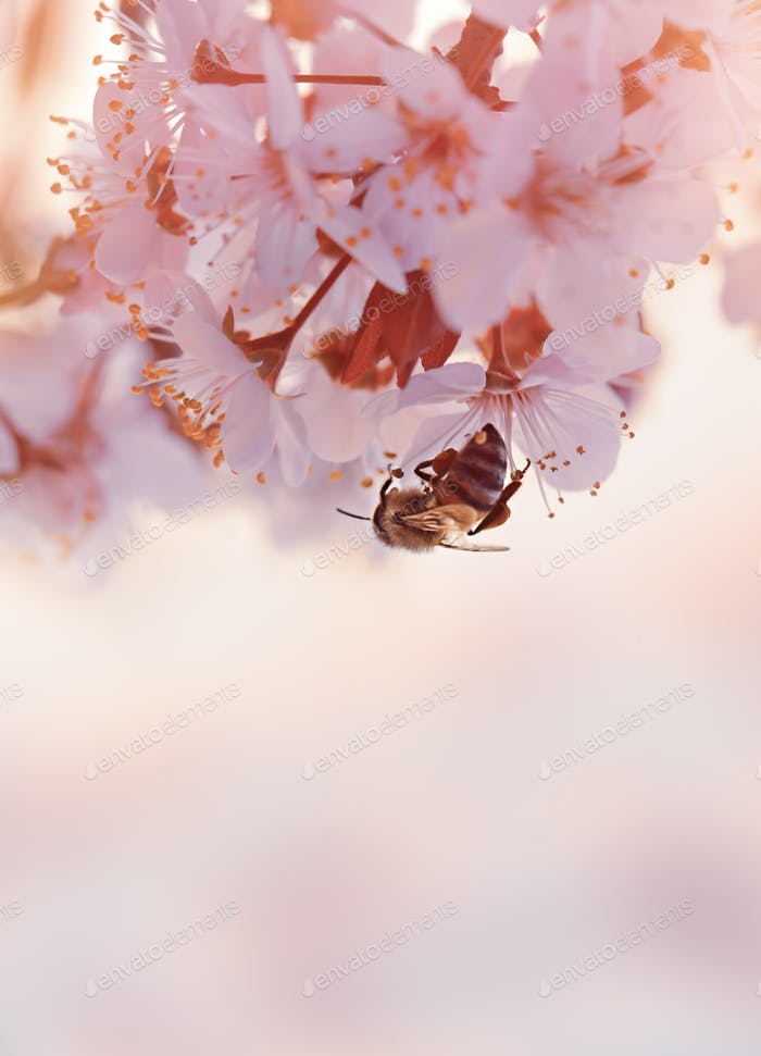 Little bee on the blooming cherry tree