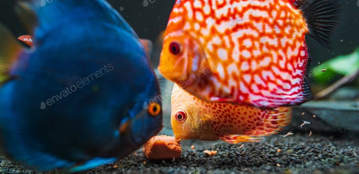 Colorful fish from the spieces Symphysodon discus in aquarium feeding on meat.