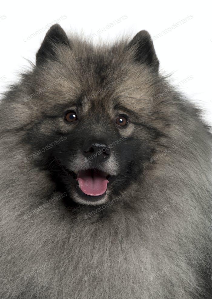Spitz dog in front of white background, studio shot
