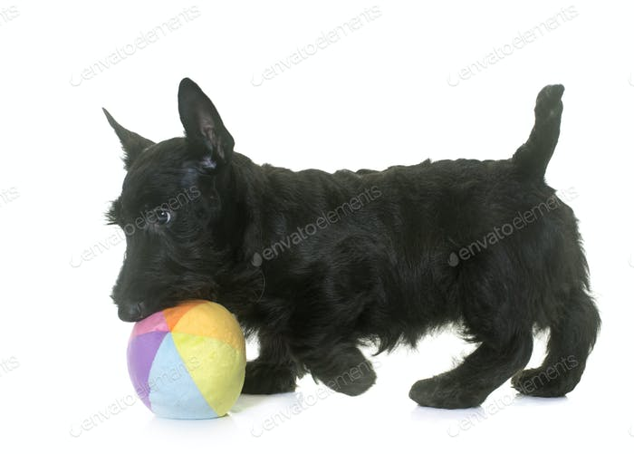 puppy scottish terrier