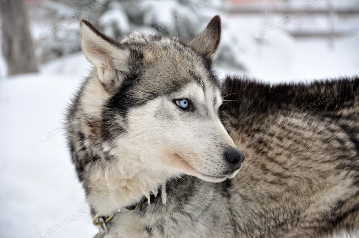 Portrait of a husky dog in the outdoors in wintertime