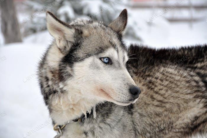 Porträt eines Husky Hund im Freien im Winter