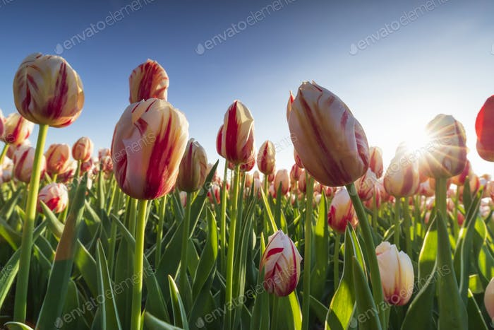 sunshine through tulips over blue sky