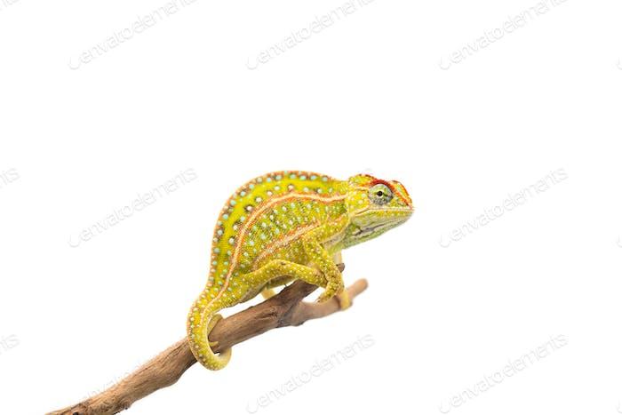 The carpet chameleon isolated on white background