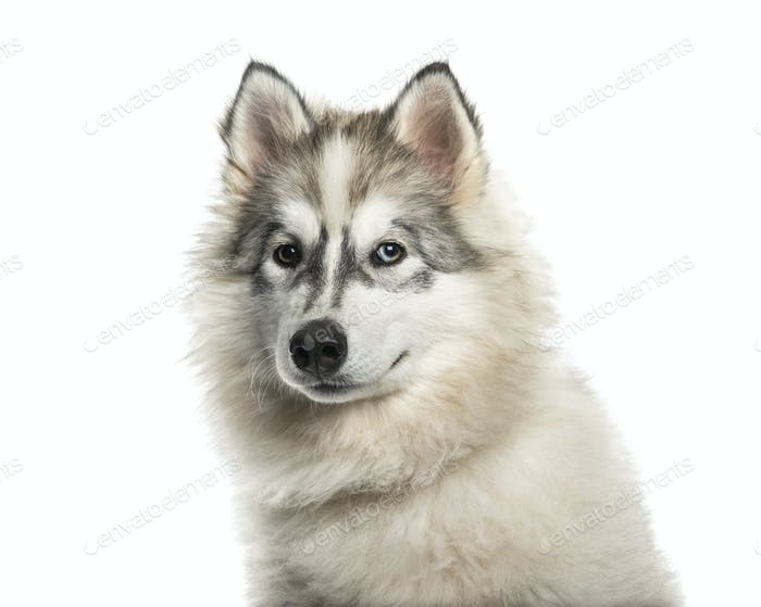 Young Alaskan Malamute dog with one blue eye against white background