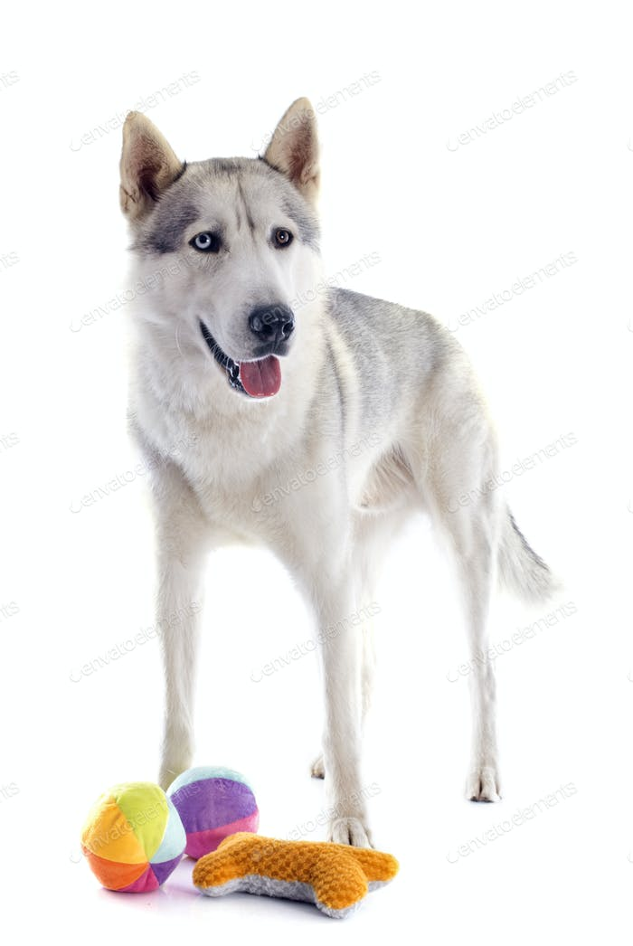 sibirischen Husky und Spielzeug