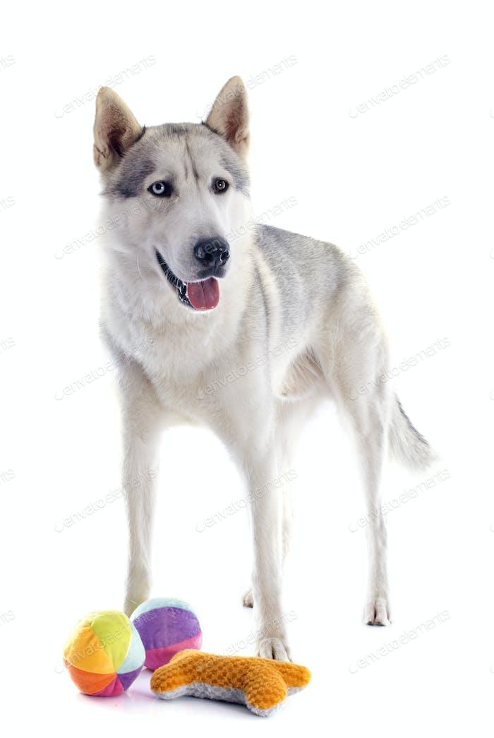 siberian husky and toys