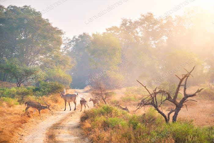 Families of blue bull nilgai and spotted deers in Ranthambore National park. Rajasthan, India