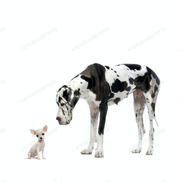 Great Dane HARLEQUIN and Chihuahua