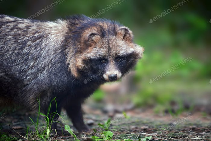Young wild raccoon