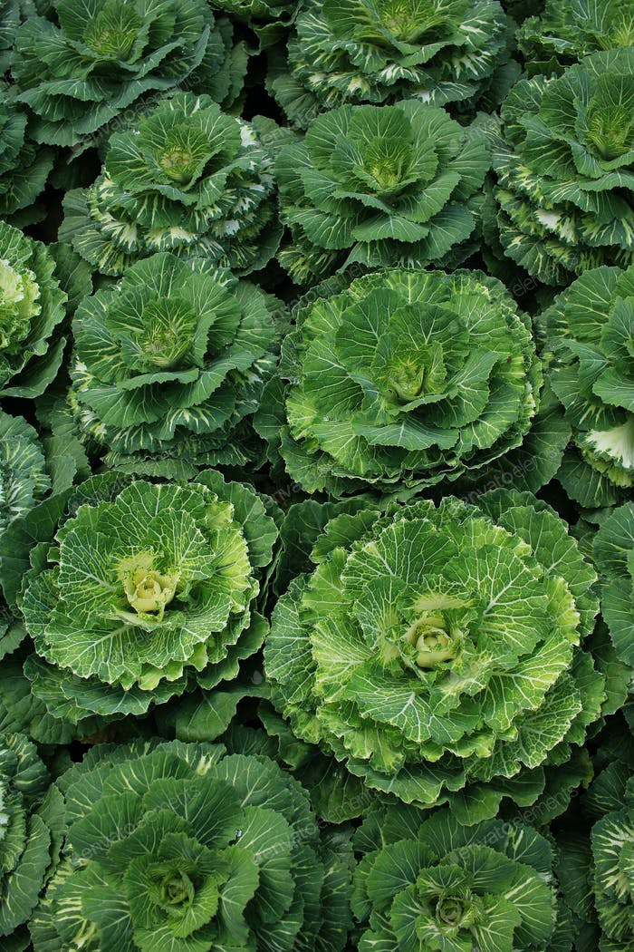 Decorative coloured cabbage on plant
