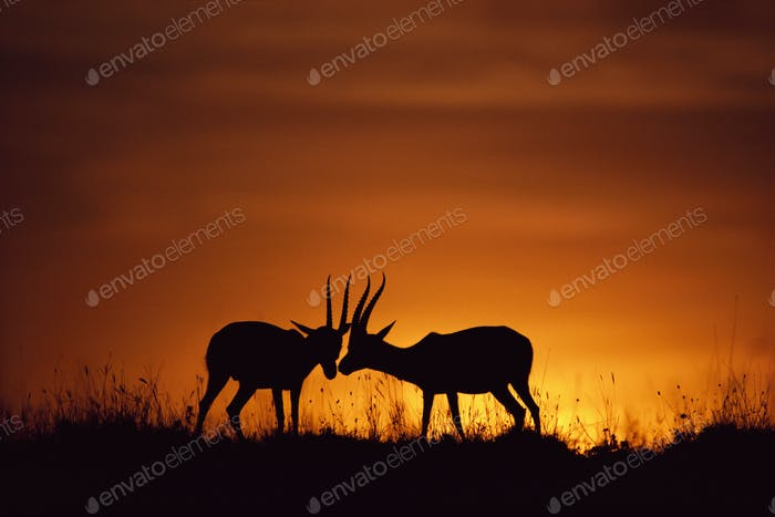 Thomson's gazelles sparring,  silhouetted against the setting sun in the Masai Mara.