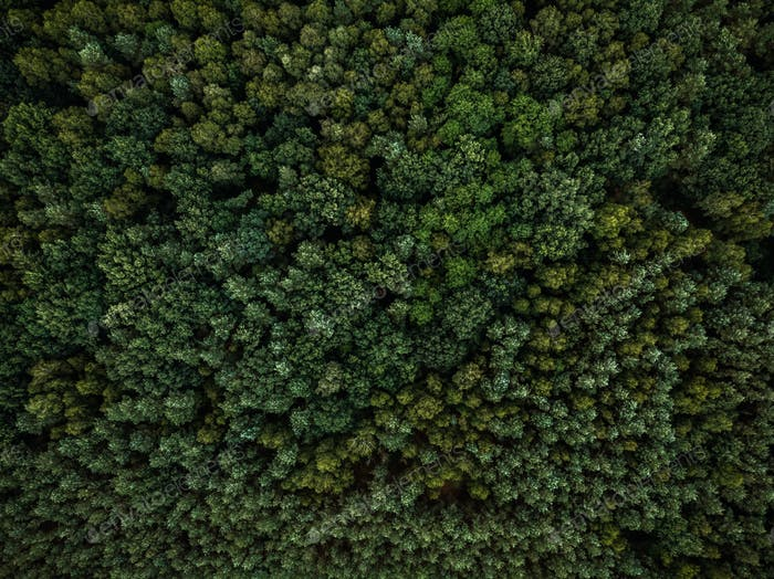 Aerial drone view over evergreen forest