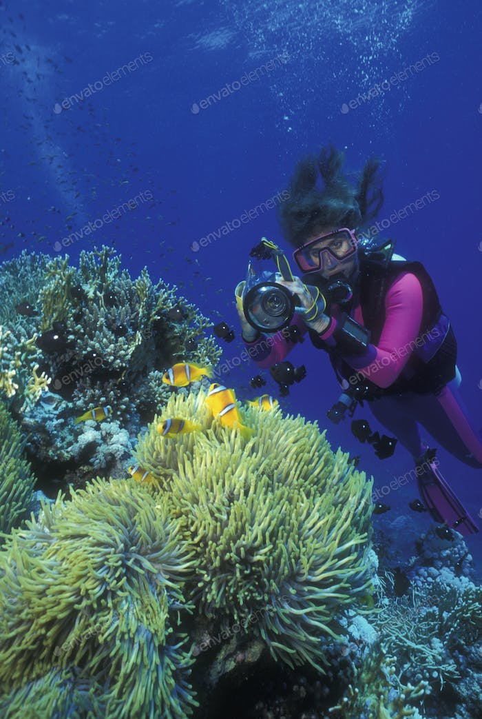 Scuba diver takes picture of anemone fish and their host anemone.