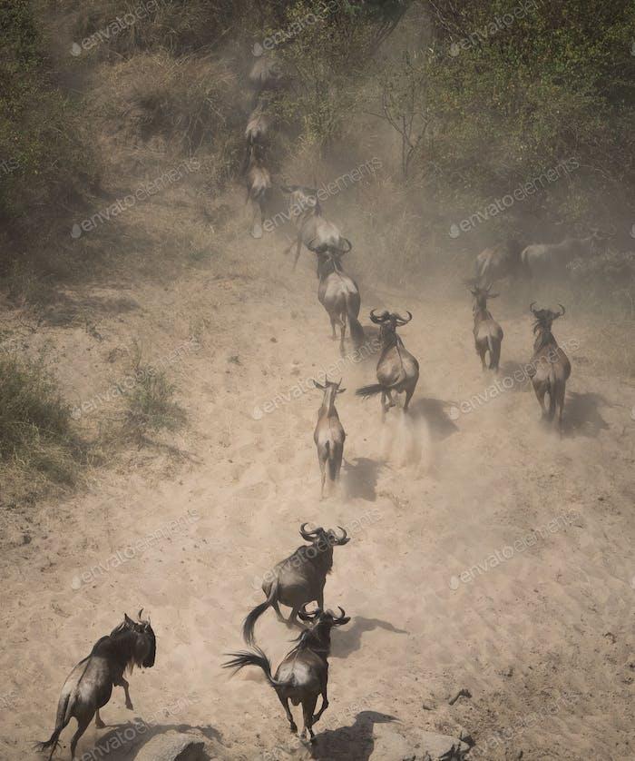 Wildebeest migration in tanzania and kenya167