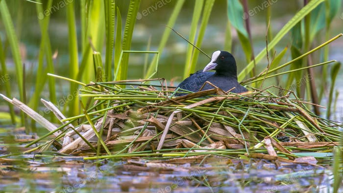 Breeding Common Coot