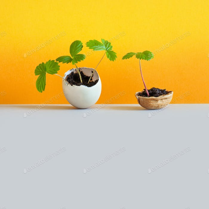 Sprouts in an eggshell and walnut shell.