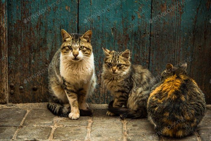 Gruppe von streunenden Katzen vor der Haustür in Marokko