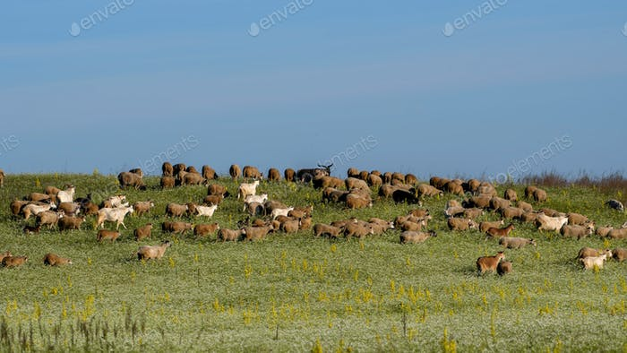 Flock of Sheep And Goats in the Pasture