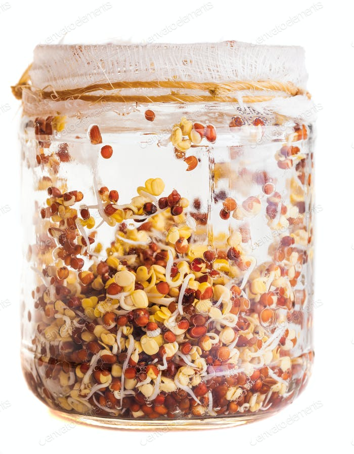 Sprouting Radish Seeds Growing in a Glass Jar
