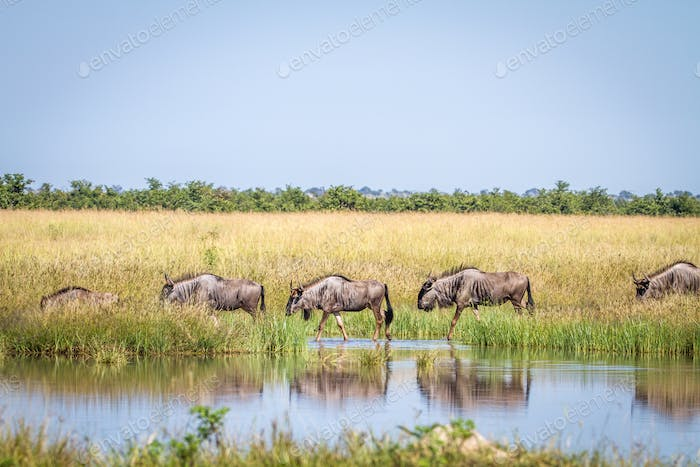 Group of Blue wildebeest crossing a river.