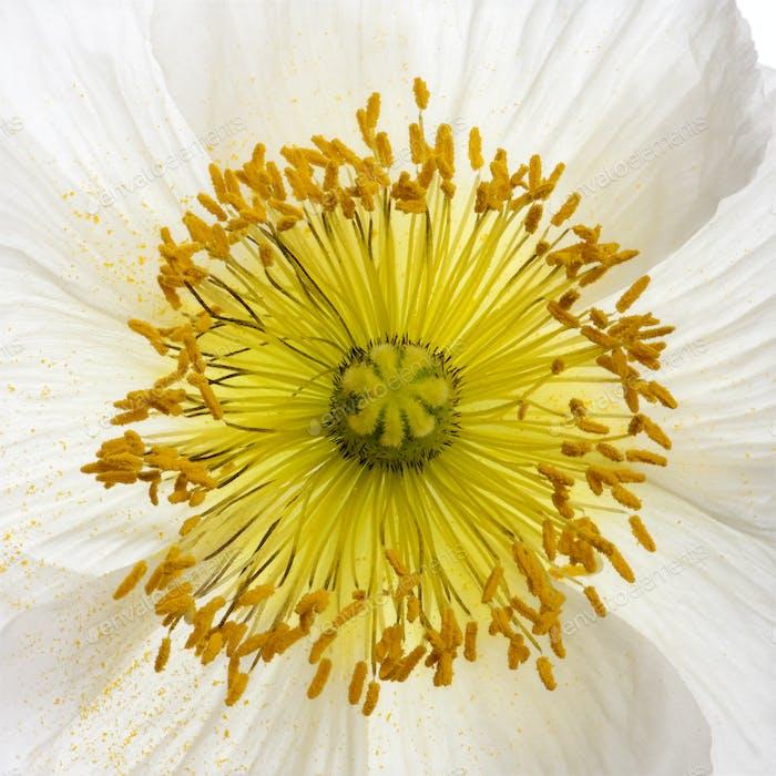 White Alpine poppy, Papaver alpinum, close up