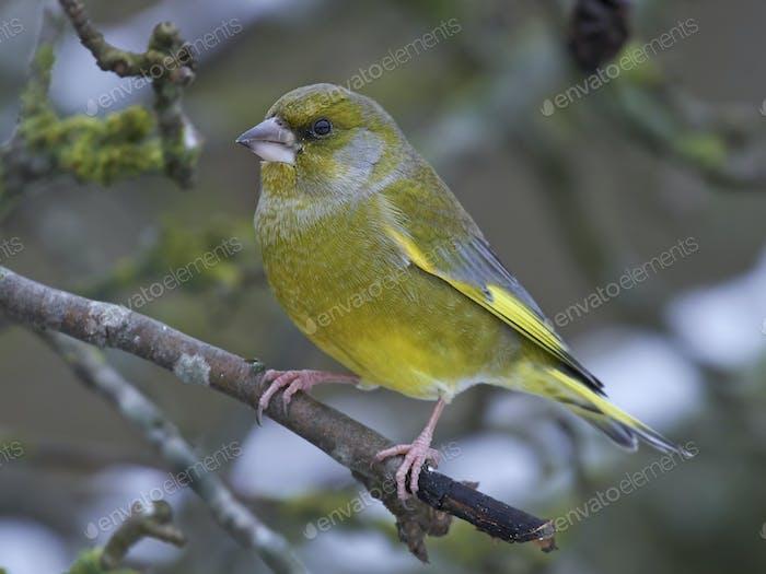 Europäischer Grünfinken, der in seinem natürlichen Lebensraum ruht