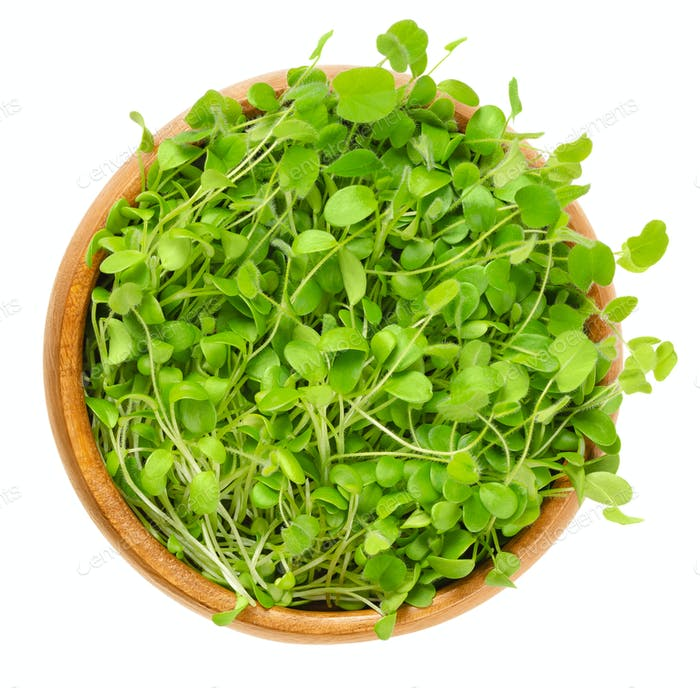 Crimson clover microgreen in wooden bowl over white