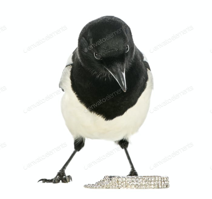 Curious Common Magpie facing, looking at the camera, with jewellery, Pica pica, isolated on white