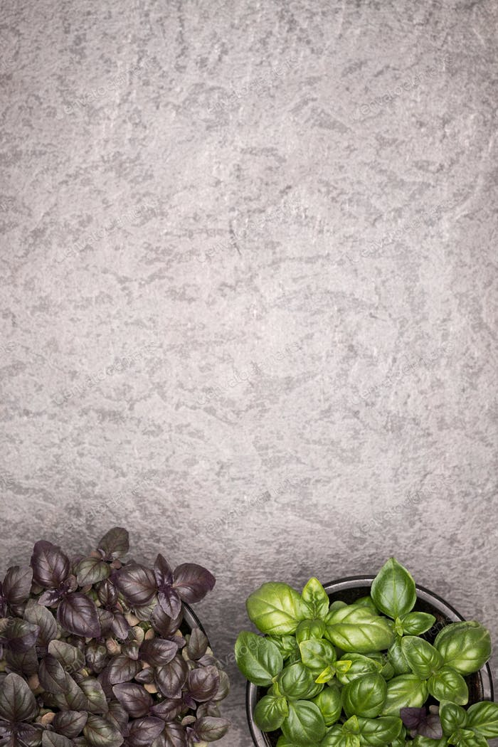 Sweet green and purple basil leaves in pot on rustic background. Healthy eating concept. Top view.