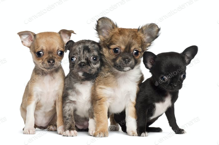 Group of Chihuahua puppy, 3 months old, sitting against white background