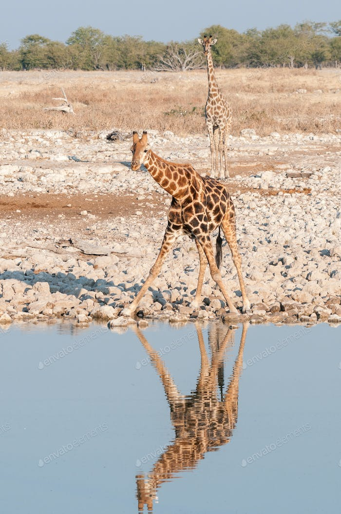 Namibian giraffes at a waterhole with reflection visible