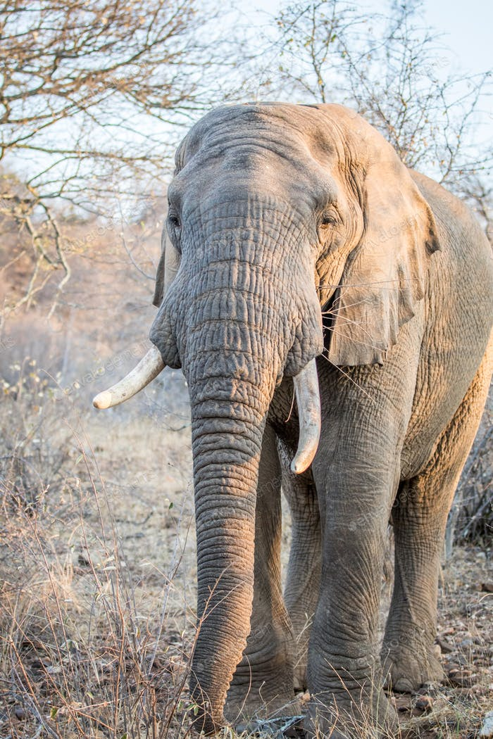 African elephant walking towards the camera.