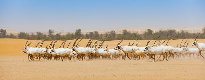 Arabian Oryx Herd in Abu Dhabi Emirate