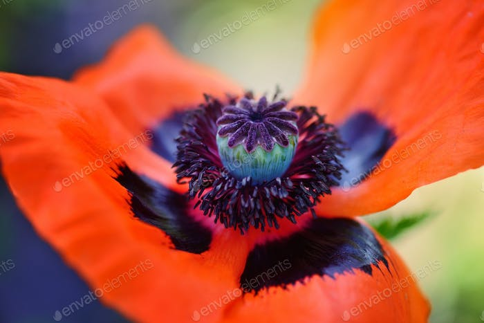 Closeup blooming red poppy flower. Stamen, stigma, filament and