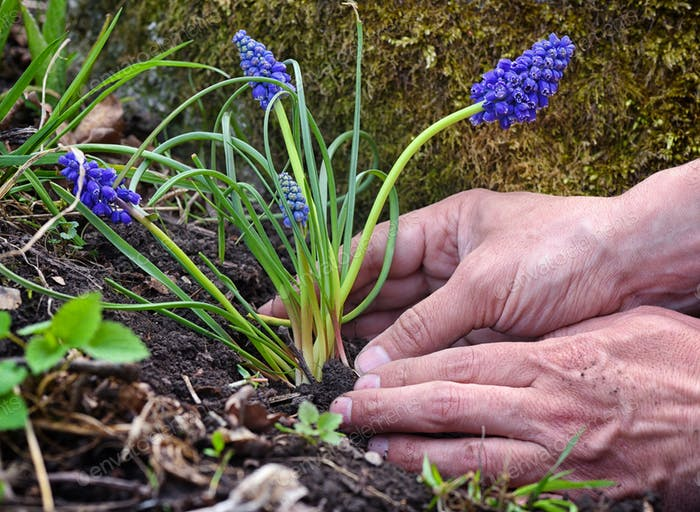 Gardener planting Muscari flowers in the garden. Spring garden w