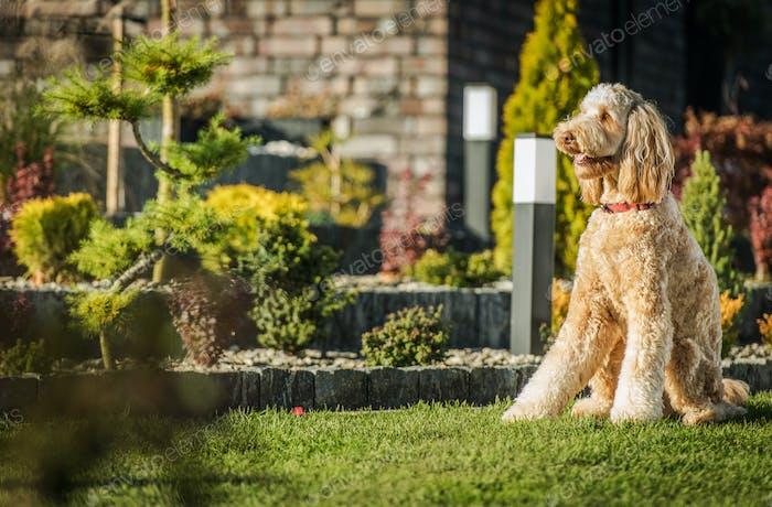 Gehorsamer Goldendoodle Hund sitzt auf Gras.