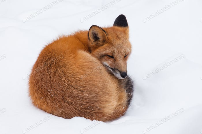 Young Red Fox genus Vulpes napping curled