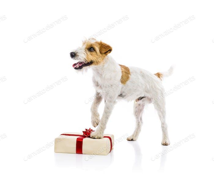 Dog standing on Chrismas gift isolated