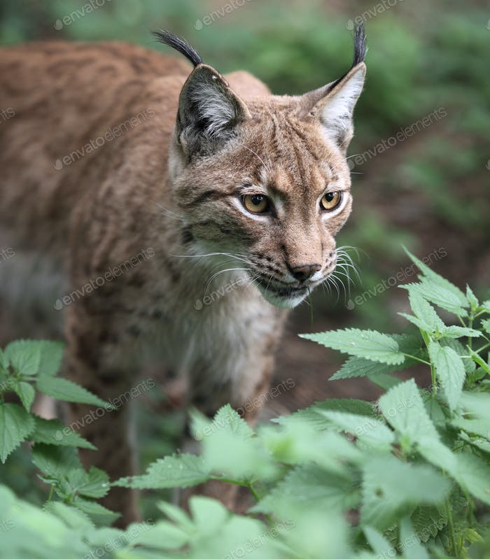 Thumbnail for Close-up portrait of an Eurasian Lynx (Lynx lynx)