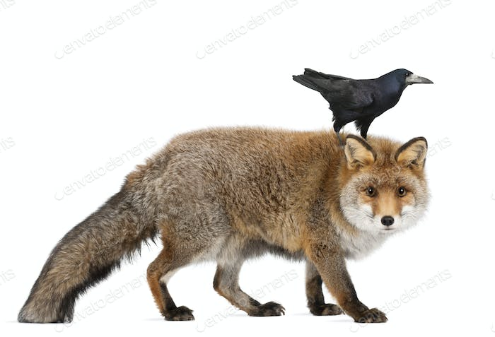 Old Red fox, Vulpes vulpes, 15 years old, and Rook, Corvus frugilegus, 3 years old
