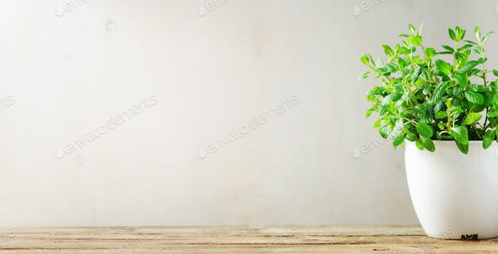 Green fresh aromatic herb melissa, mint in white pot on wooden background. Banner. Copyspace