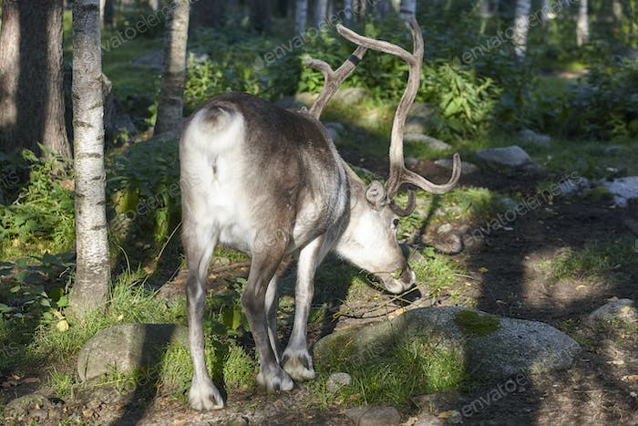 Wild reindeer in the forest. Animal background. Finland. Horizontal