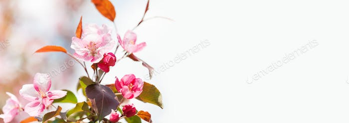 Pink blossom springtime background. Apple tree branch with pink petal flowers. Copy space