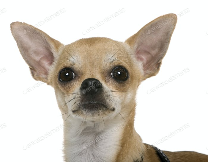 Chihuahua, 12 months old, close up against white background