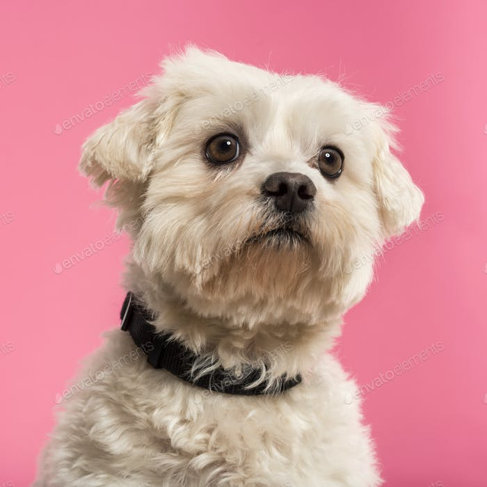 Close-up of a Maltese, 5 years old, isolated on a pink background