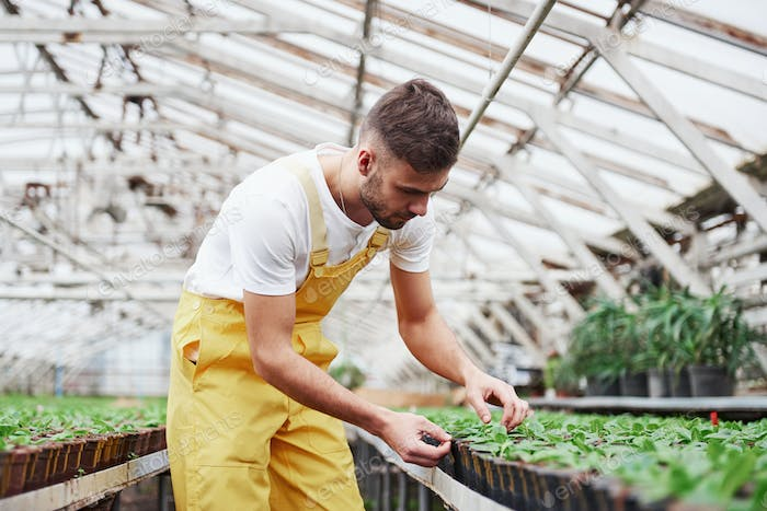 Need to be careful. Attractive male bearded farmer taking care of the flowers in the greenhouse